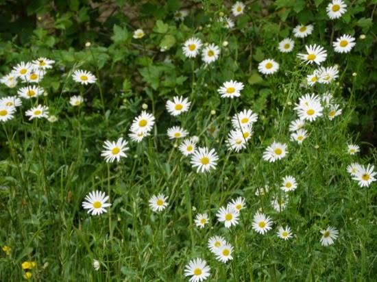 UK summer daisies