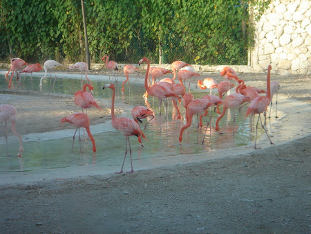 Mexican Xcaret flamingo