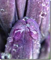 Sue Reno, Hyacinth with raindrops, macro