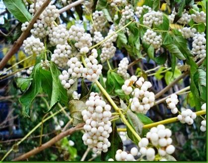 White Beautyberry