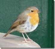 dunvegan robin