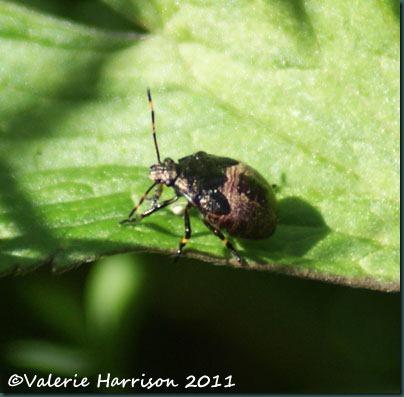 9-shieldbug