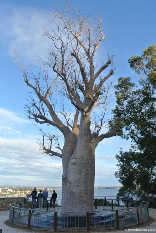Boab Tree - Kings Park