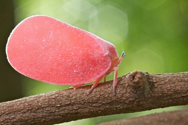 Pink Flatid Hopper 02