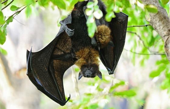 خفاش الفاكهة الإفريقي