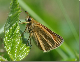 Large Skipper Butterfly