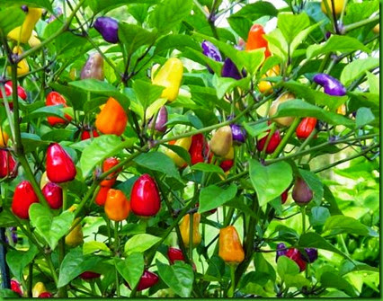 Pepper Bolivian Rainbow1