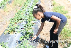 Strawberry picking 003