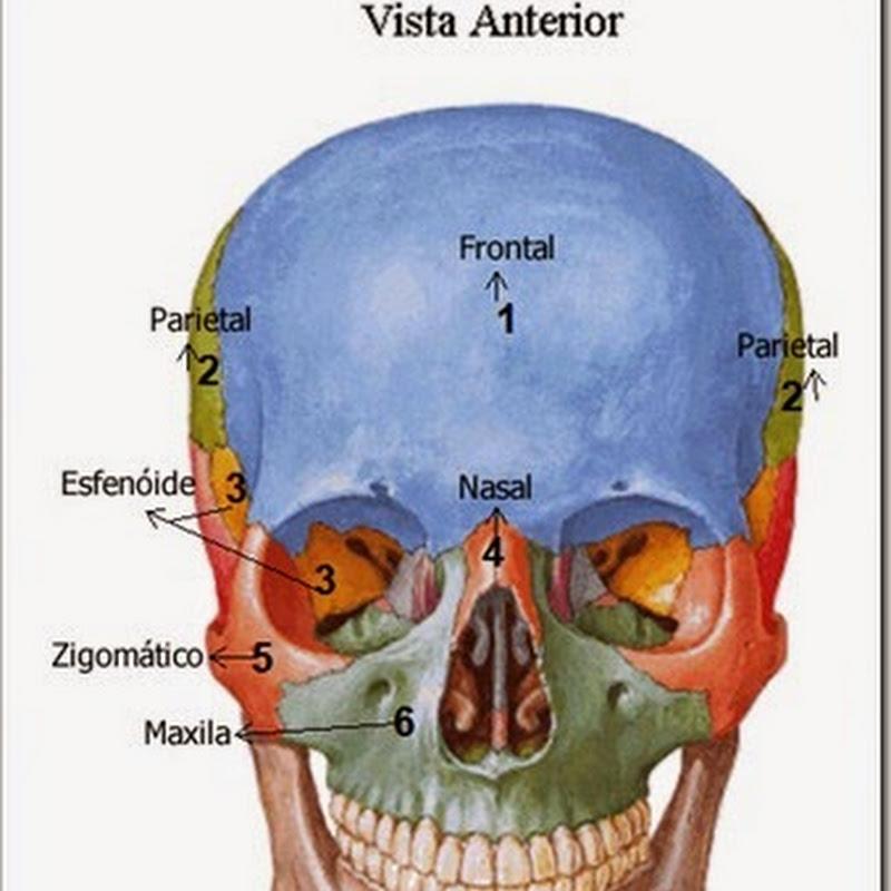 Acidentes ósseos do Crânio
