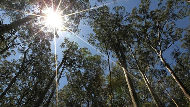 Hot times to mean bad news: A predicted rise in temperatures would see Australia woodland become grassland. A study by the National Environmental Research Program's Environmental Decisions Hub has found that climate stress on eucalypts will mean many of Australia's 750 species will struggle to cope with climate change. Photo: Tamara Dean / SMH
