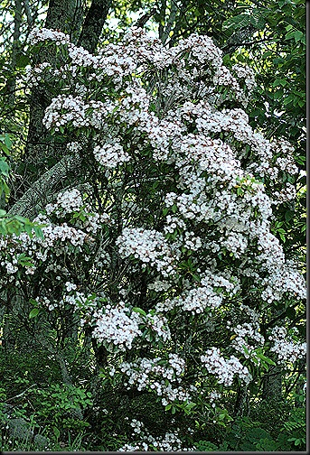 S_Mountain_Laurel