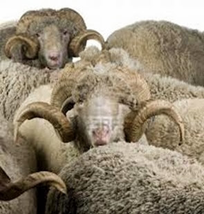 Amazing Pictures of Animals, Photo, Nature, Incredibel, Funny, Zoo, Mammals, Merino, Sheep, Alex (13)
