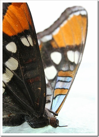110808_California-sister-(Adelpha-bredowii-californica)_11