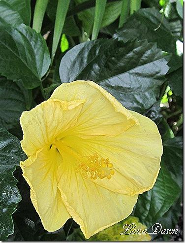 LG_Hibiscus_Yellow