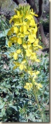 Western Wallflower 3-3-2012 10-27-51 AM 1008x2495