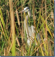 6134 Texas, South Padre Island - Birding and Nature Center - Great Blue Heron