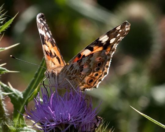 butterfly_20110731_tistel1