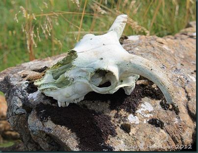 40-sheeps-skull