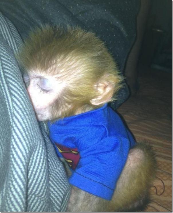 Macaco bebe adora tomar refrigerante (4)
