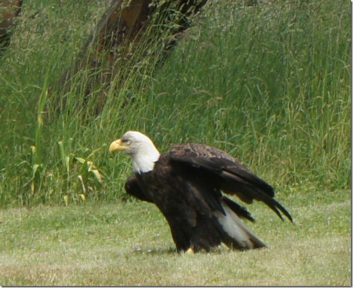 sick eagle 062311 00005