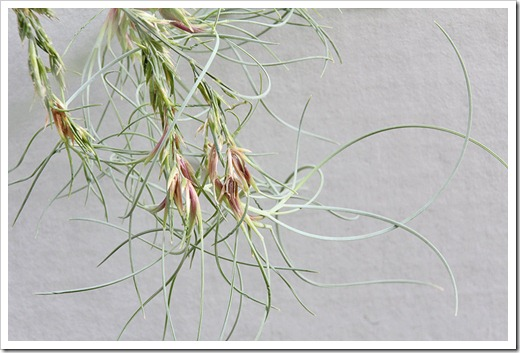 110910_Festuca-glauca-Elijah-Blue_03