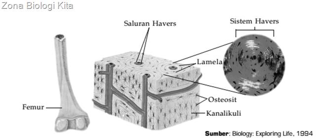 sistem Havers