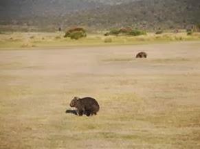 Amazing Pictures of Animals, Photo, Nature, Incredibel, Funny, Zoo, Common wombat, Vombatus ursinus, Marsupial, Mammals, Alex (11)