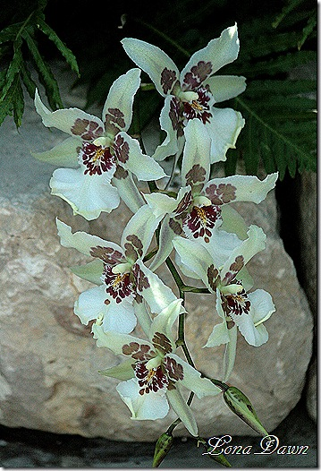 FPC_Orchids_White_Burgundy4