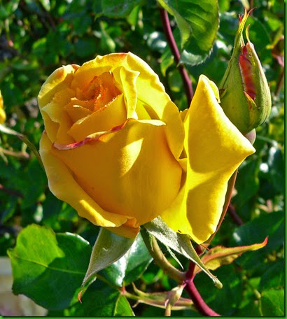 Rosa Golden Scepter