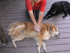 If your pet becomes unconscious, lay him on his side and compress lungs by squeezing with the heel of your hand on the side of his chest to dislodge object.