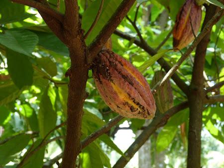 Imagini Sri Lanka: fruct de cacao