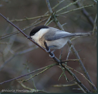 10-willow-tit