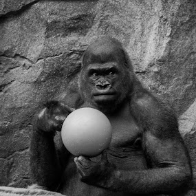 Kit Playing With The Ball by Daniel Gorman - Black & White Animals ( franklin park, gorillas, zoo, boston, ape, gorilla ape, apes, gorilla, primate, zoos, primates, franklin park zoo, , black and white, animal )