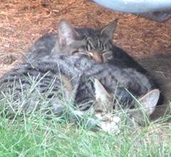 1 new kitties 10.2011 both kitties under camper snuggling1