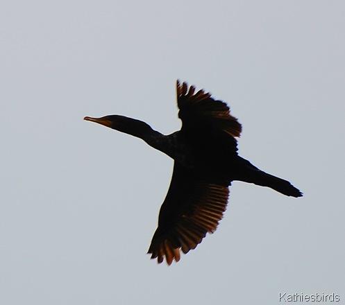6. cormorant-kab