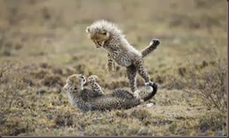 Amazing Animal Pictures Cheetah (12)