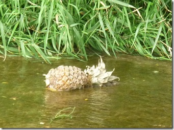 pineapple at somerton deep lock