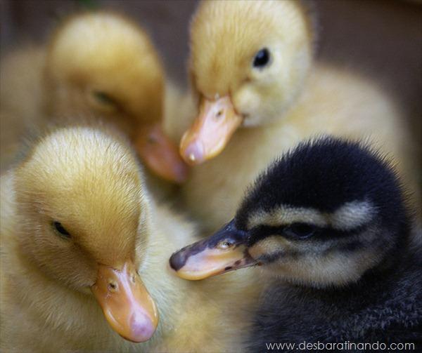 filhotes-patos-fofos-pequenos-desbaratinando (23)