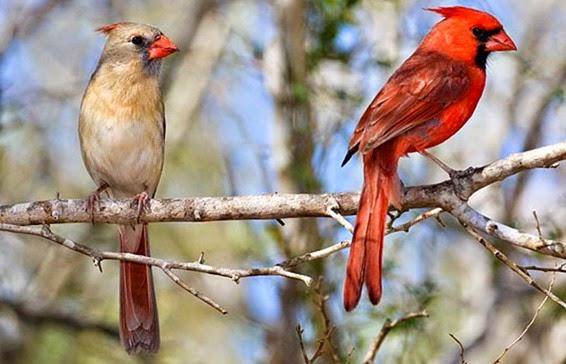 Northern Cardinal male, Cardinalis cardinalis