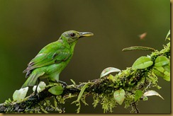 Green Honeycreeper - Chlorophanes spiza