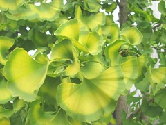 ginko leaves fall 2012