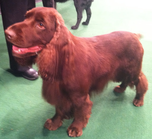 Field Spaniel 'Albert'