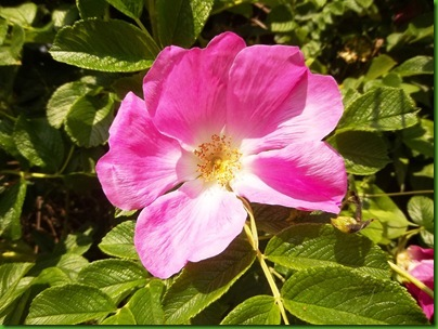 012-1  Dog Rose