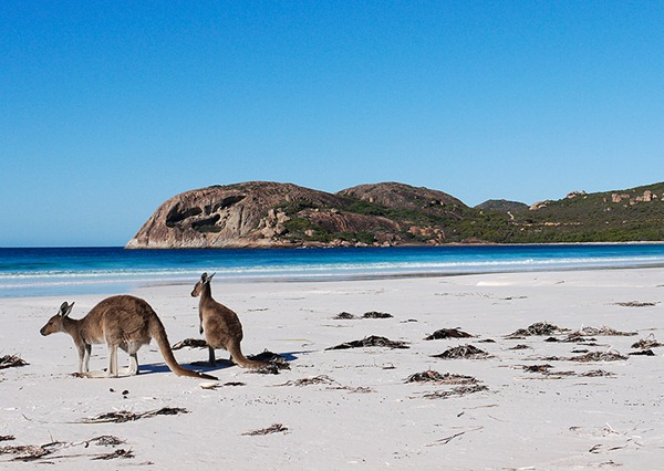 Kangaroo in the Beach