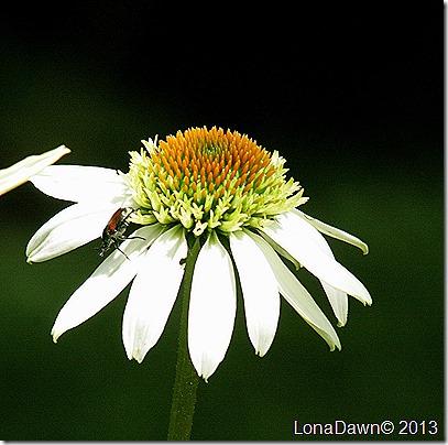 Echinacea_Milkshake_JBeetle