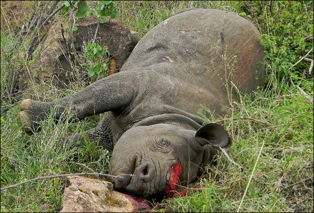 Meluaya, a 17-year-old black rhino, was killed and dehorned by poachers at the Lewa Wildlife Conservancy, 19 November 2013. Photo: Lewa Conservancy