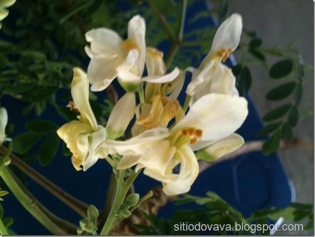 flor da moringa