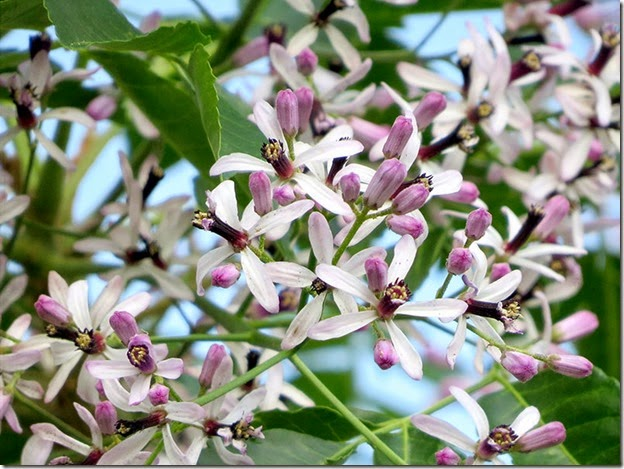Chinaberry_Blossoms_kkway