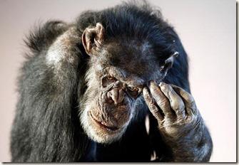 77561444_Chimpanzee_357550c