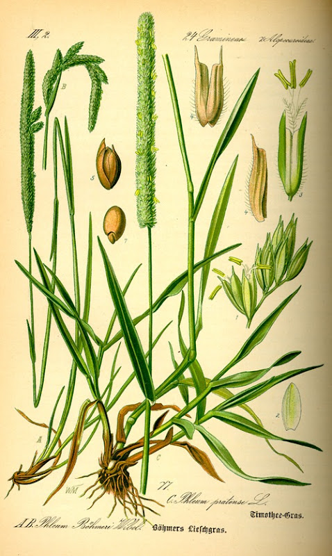 Illustration_Phleum_pratense0